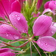 Morning Dew On Pink Cleome Art Print