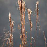 Morning Sunshine On Tall Reeds Art Print