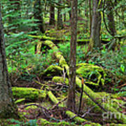 Moss And Fallen Trees In The Rainforest Of The Pacific Northwest Art Print