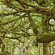 Moss-covered Trees Art Print