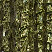 Moss Covered Trees, Hoh Rainforest Art Print