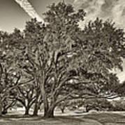 Moss-draped Live Oaks Sepia Toned Art Print