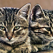Mother And Child Wild Cats Art Print