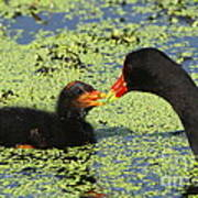 Mother Common Gallinule Feeding Baby Chick Art Print