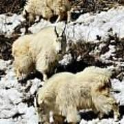 Mountain Goat Trio Art Print