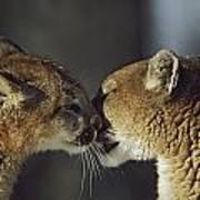 Mountain Lion Felis Concolor Cub Art Print by David Ponton