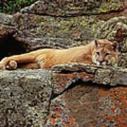 Mountain Lion Puma Concolor Lounging Art Print by Gerry Ellis
