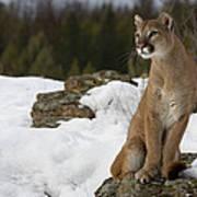 Mountain Lion Puma Concolor Sitting Art Print