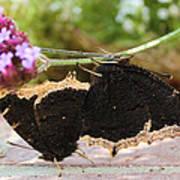Mourning Cloak Butterfly Lovin' Art Print