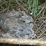 Mourning Dove Chicks Art Print