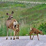 Mule Deer Doe And Twin Fawns Art Print