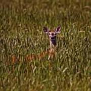 Mule Deer In Wheat Field, Saskatchewan Art Print