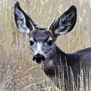 Mule Deer Spike Art Print
