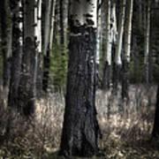 Muleshoe Trees Banff Art Print