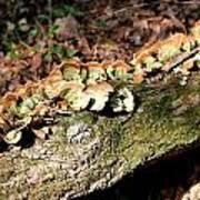 Multi Colored Gill Polypore Fungi 1561 Art Print