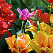 Multi-colored Tulips In Bloom Art Print