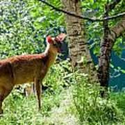 Muntjac Deer - Muntiacus Reevesi Art Print