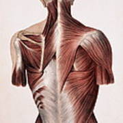 Muscles Of The Back Art Print
