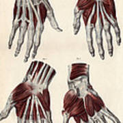 Muscles Of The Hand Art Print