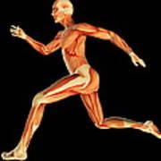 Muscular System Art Print