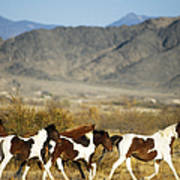 Mustangs Print by Mark Newman and Photo Researchers