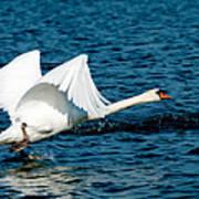 Mute Swan Gaining Momentum Art Print