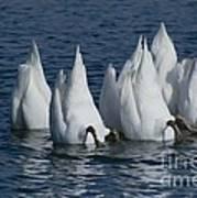 Mute Swan Art Print