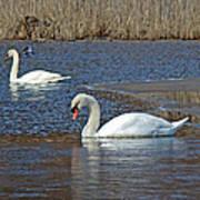 Mute Swans On A Cape Cod Pond - Cygnus Olor - Quissett  Massachusetts Art Print