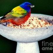 My Painted Bunting Art Print