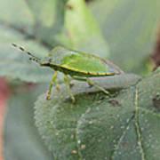 My Pretty Green Stink Bug Art Print