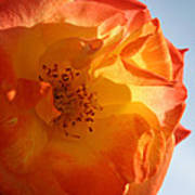 My Yellow Orange Rose Art Print