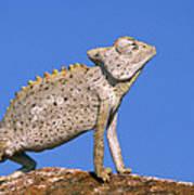 Namaqua Chameleon Chamaeleo Namaquensis Art Print