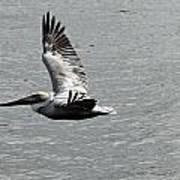 Naples Florida Pelican On The Prowl Art Print