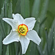 Narcissus In The Rain Art Print