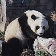 National Zoo Panda Art Print