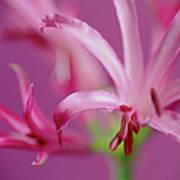Nerine Flowers Art Print