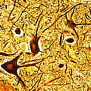 Nerve Tissue Art Print