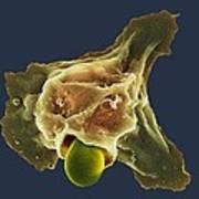 Neutrophil Engulfing Thrush Fungus, Sem Art Print by