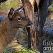 Newborn Elk Art Print