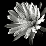 Night Blooming Cereus In Black And White Art Print