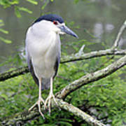 Night Heron On Branch Art Print