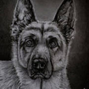 Noble - German Shepherd Dog  Art Print