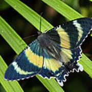 North Queensland Day Moth Alcides Art Print