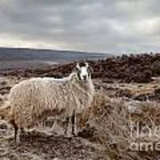 North York Moors Sheep Art Print
