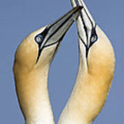 Northern Gannet Morus Bassanus Pair Art Print