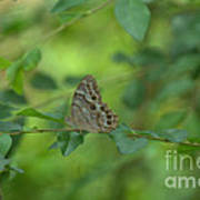 Northern Pearly Eye Butterfly Art Print