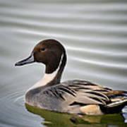 Northern Pintail Duck  Art Print