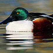 Northern Shoveler Anas Clypeata Male Art Print