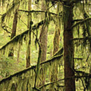 Northwest Mossy Tree Art Print