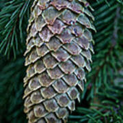 Norway Spruce Cone Art Print